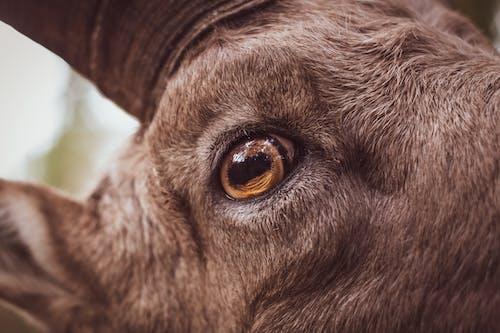 Immagine gratuita di capra, montone, occhio di capra