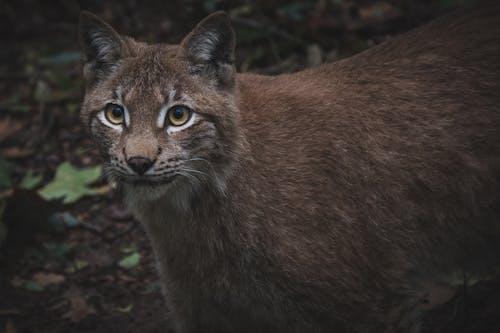 Immagine gratuita di grande gatto, lince