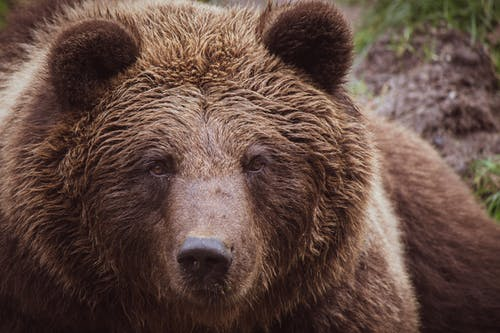 Close-up Photo of Grizzly Bear