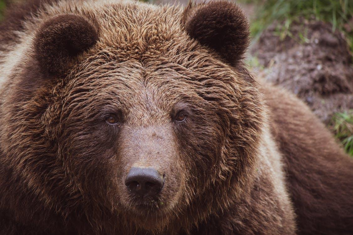 Foto Del Primo Piano Dell'orso Grizzly