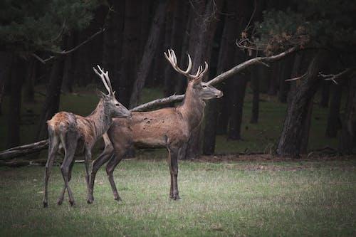 Immagine gratuita di cervi, cervo