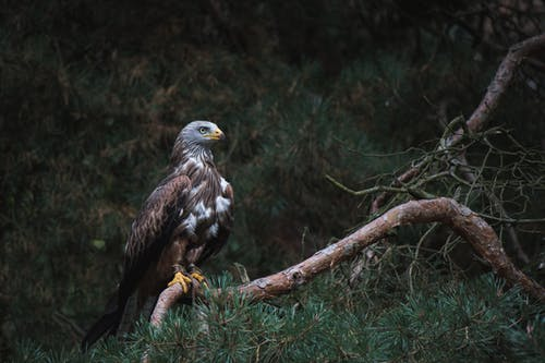 White and Brown Bald Eagle on Branch