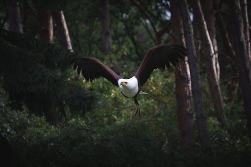 Immagine gratuita di aquila, aquila volante