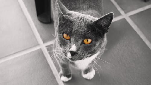 Free stock photo of cat, cat face, yellow eyes