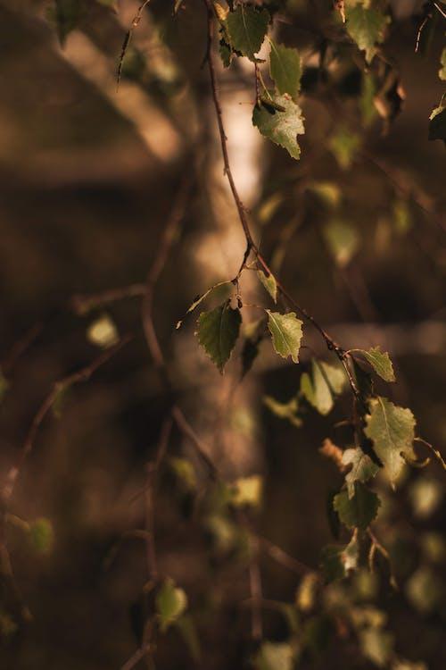Kostenloses Stock Foto zu birke, braun, dunkel, grün