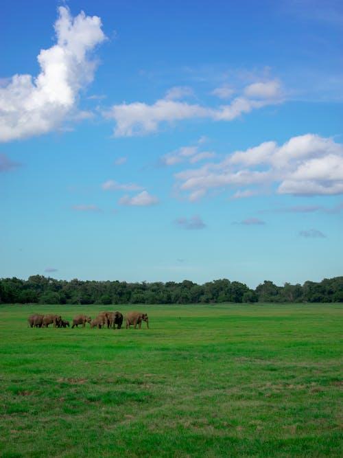 Ilmainen kuvapankkikuva tunnisteilla norsu, pilvet, ruoho, safari
