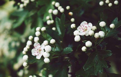 alıç, Bahçe, Beyaz çiçekler, Çiçekler içeren Ücretsiz stok fotoğraf