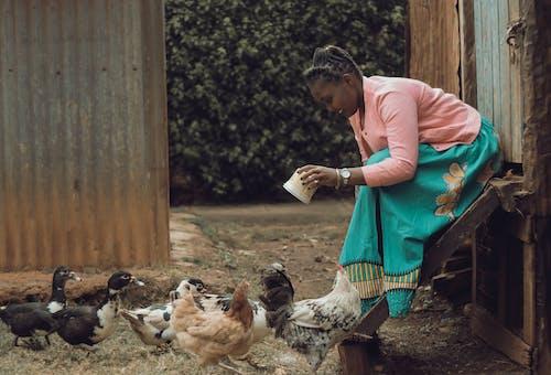 Ilmainen kuvapankkikuva tunnisteilla ankat, henkilö, kanat, karja