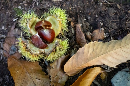 Free stock photo of autumn, autumn leaves, chestnut, dry leaves