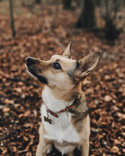 Short-coat Beige and White Dog