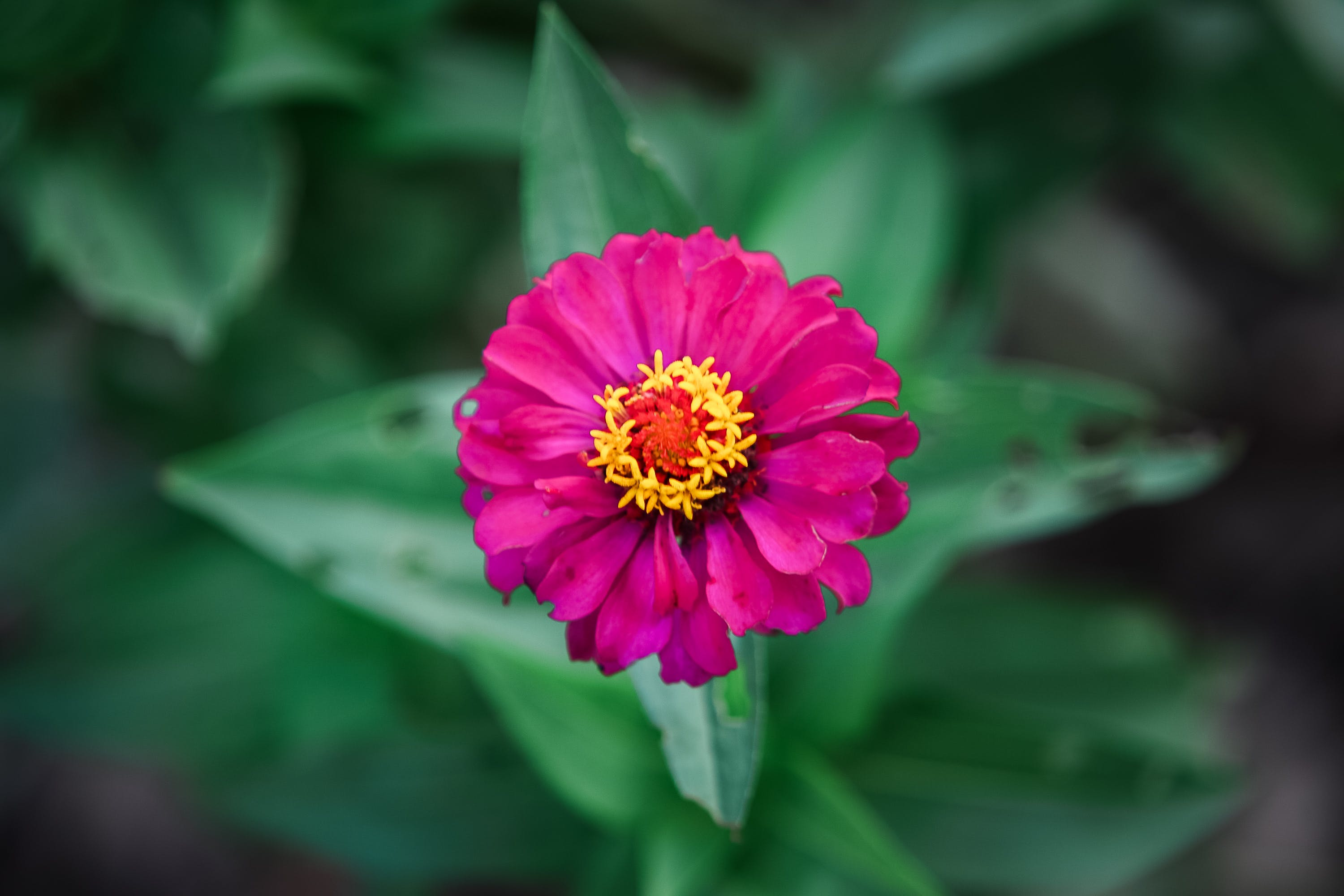 Selective Focus Photography of Pink Petaled Floer