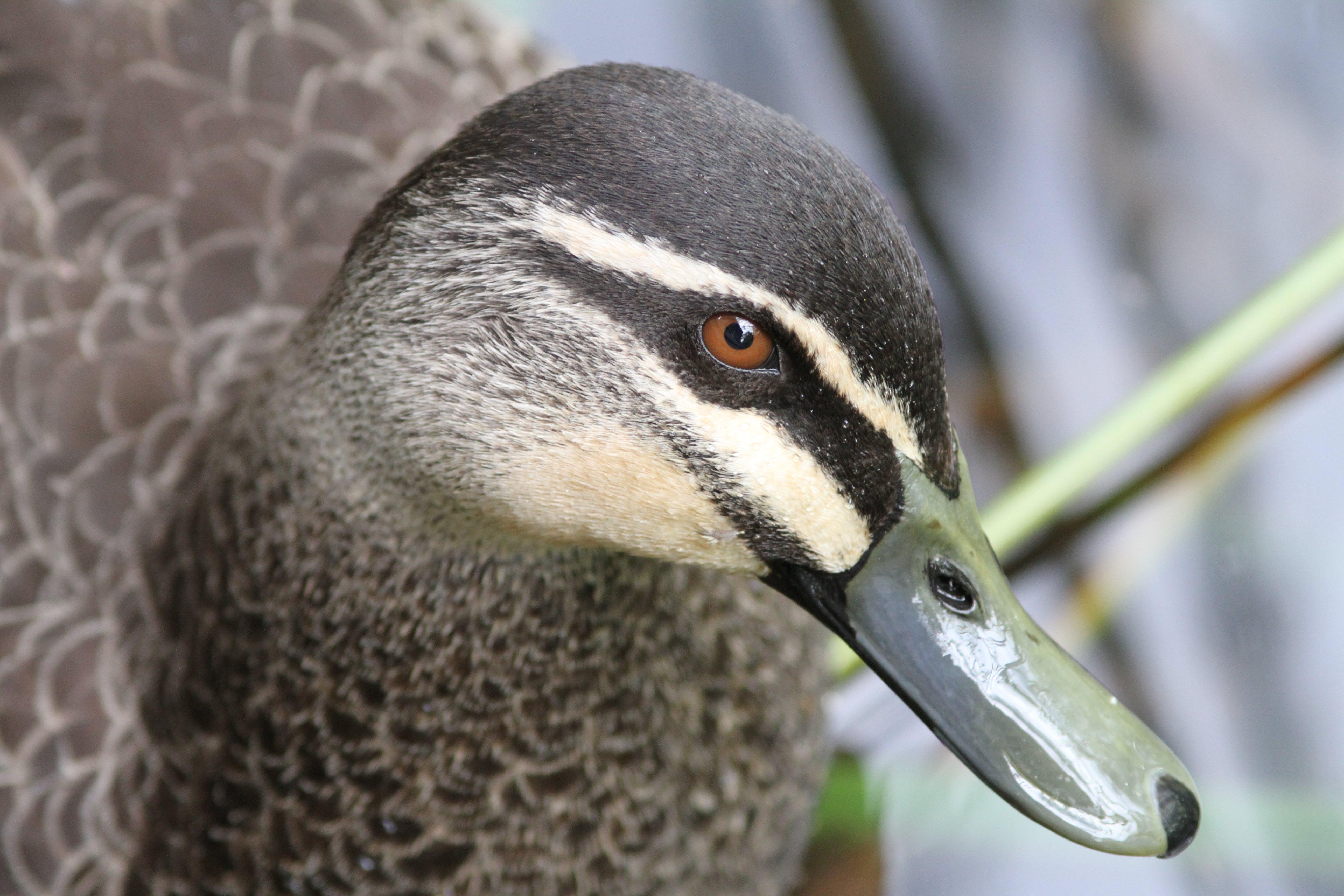 Free stock photo of animal, bird, duck