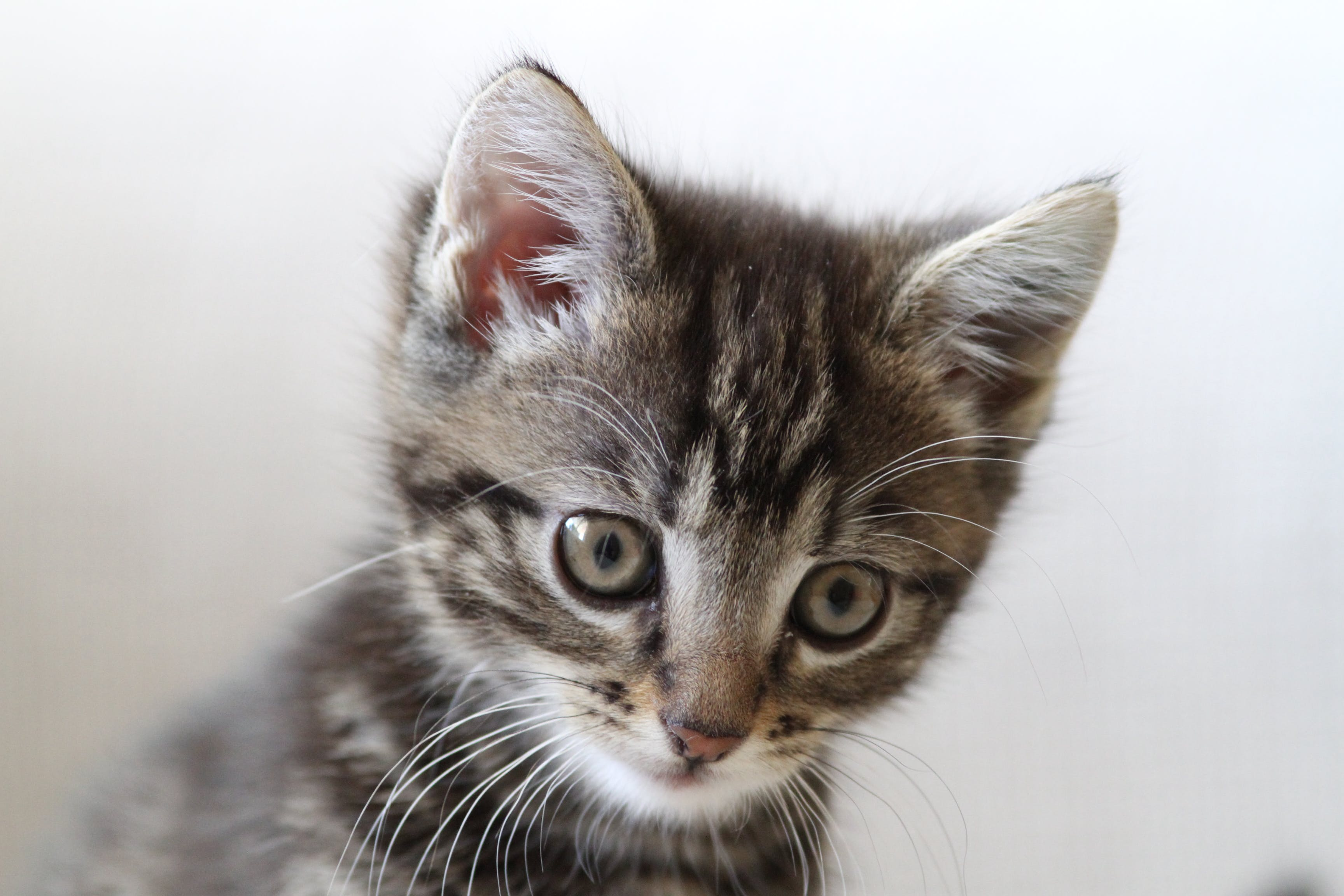 Free stock photo of cat, kitten