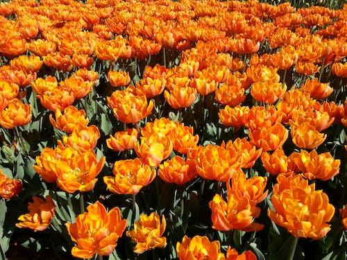 Free stock photo of tulips