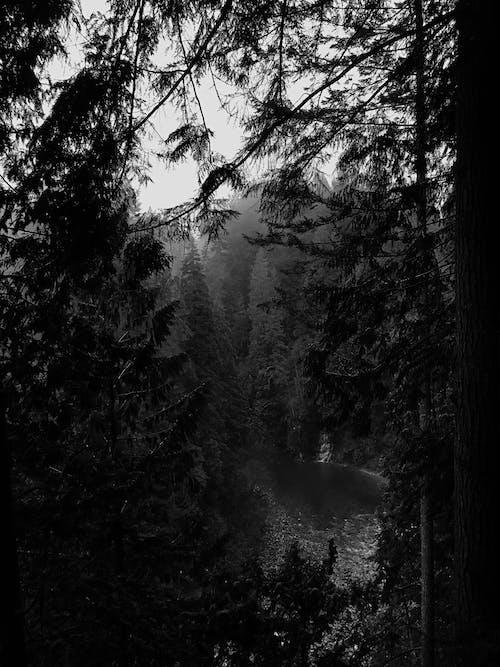 Foto d'estoc gratuïta de arbres, blanc i negre, bosc, boscos