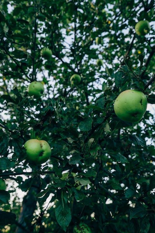 Δωρεάν στοκ φωτογραφιών με apple, streuobst, αργά το καλοκαίρι, Γερμανία