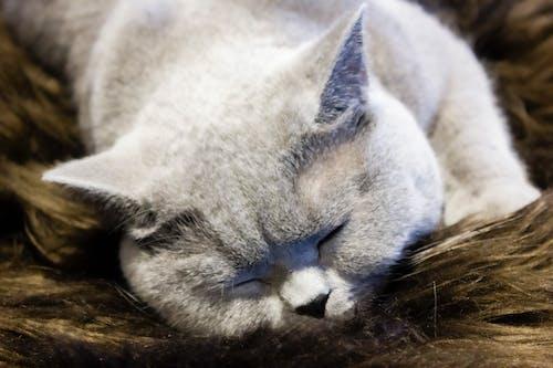 Free stock photo of big cat, cute animals, domestic cat