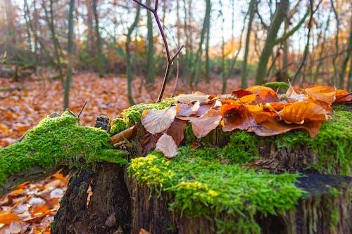 Free stock photo of autumn, foliage, forest