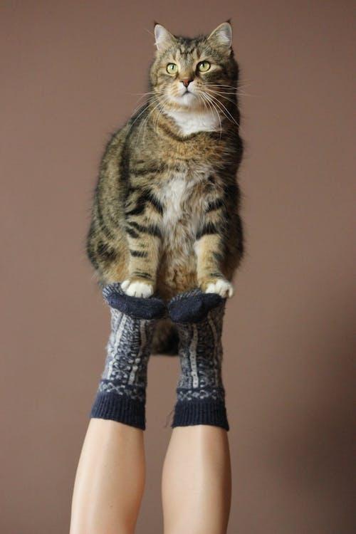 短い毛皮の黒と茶色の猫