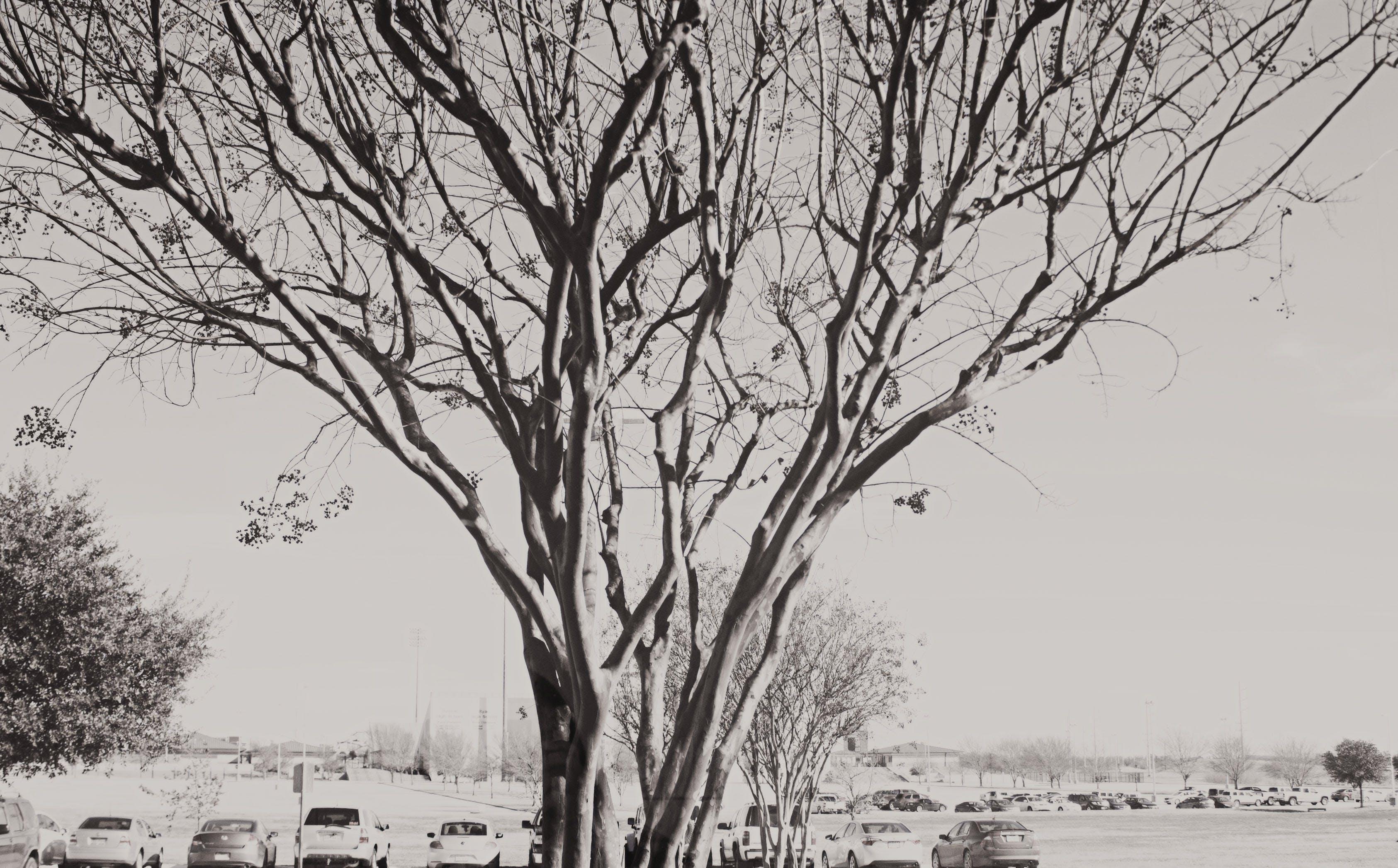 Free stock photo of tree, black and white