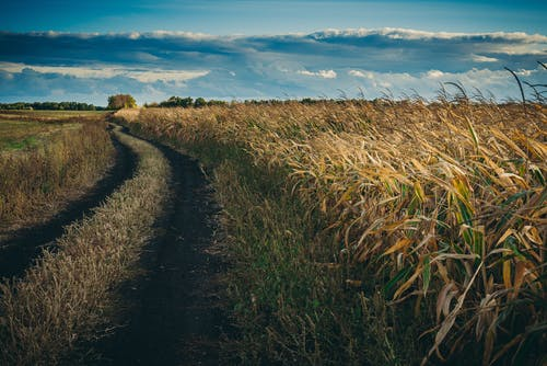 Foto d'estoc gratuïta de camp de blat de moro al començament de la tardor