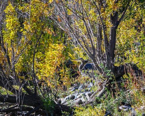 Бесплатное стоковое фото с осенний цвет, скрытый, цапля