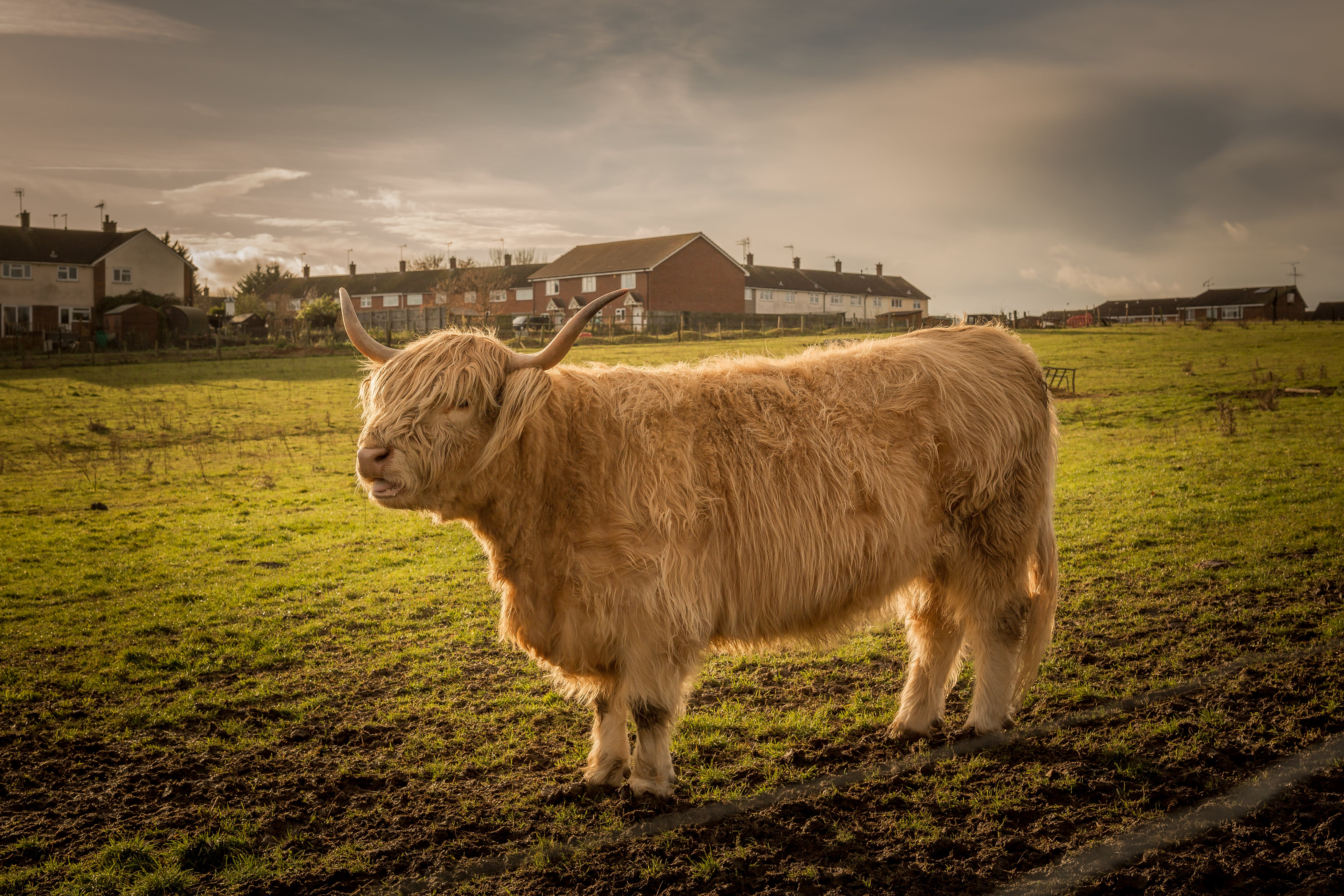 Free stock photo of bull, cattle, cow, farm