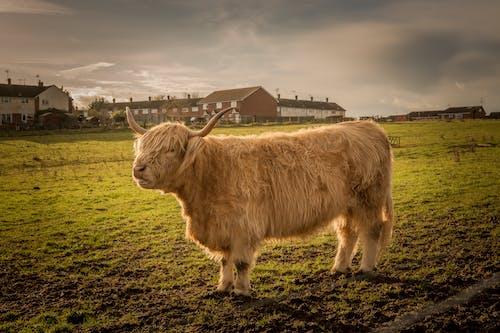 Photos gratuites de bétail, clairière, exploitation agricole, résidentiel