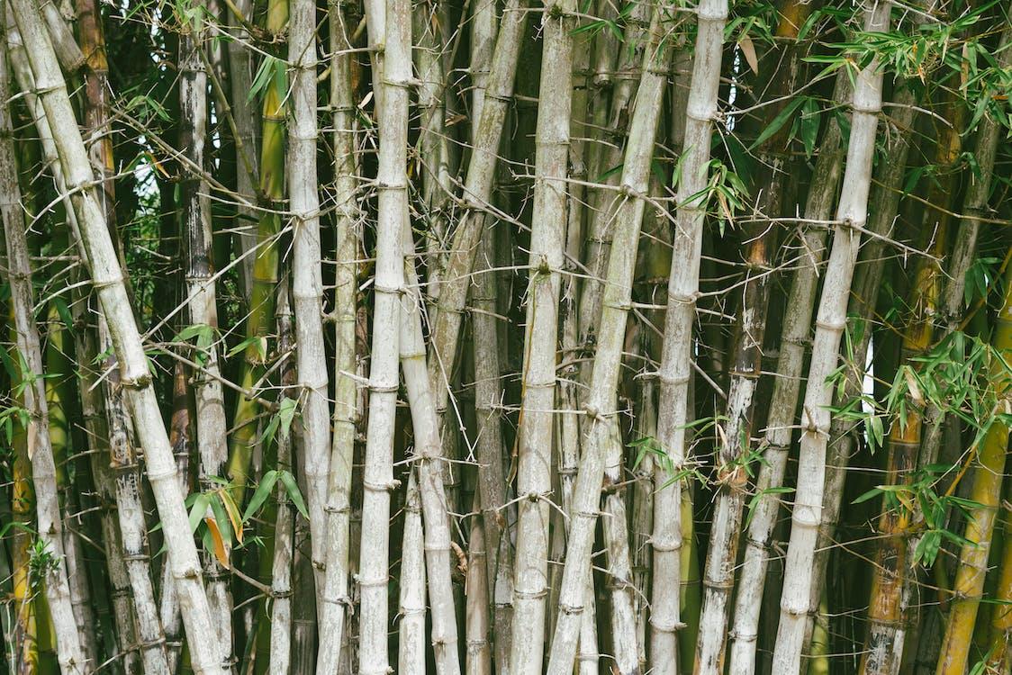 aboiement, arbres, bambou
