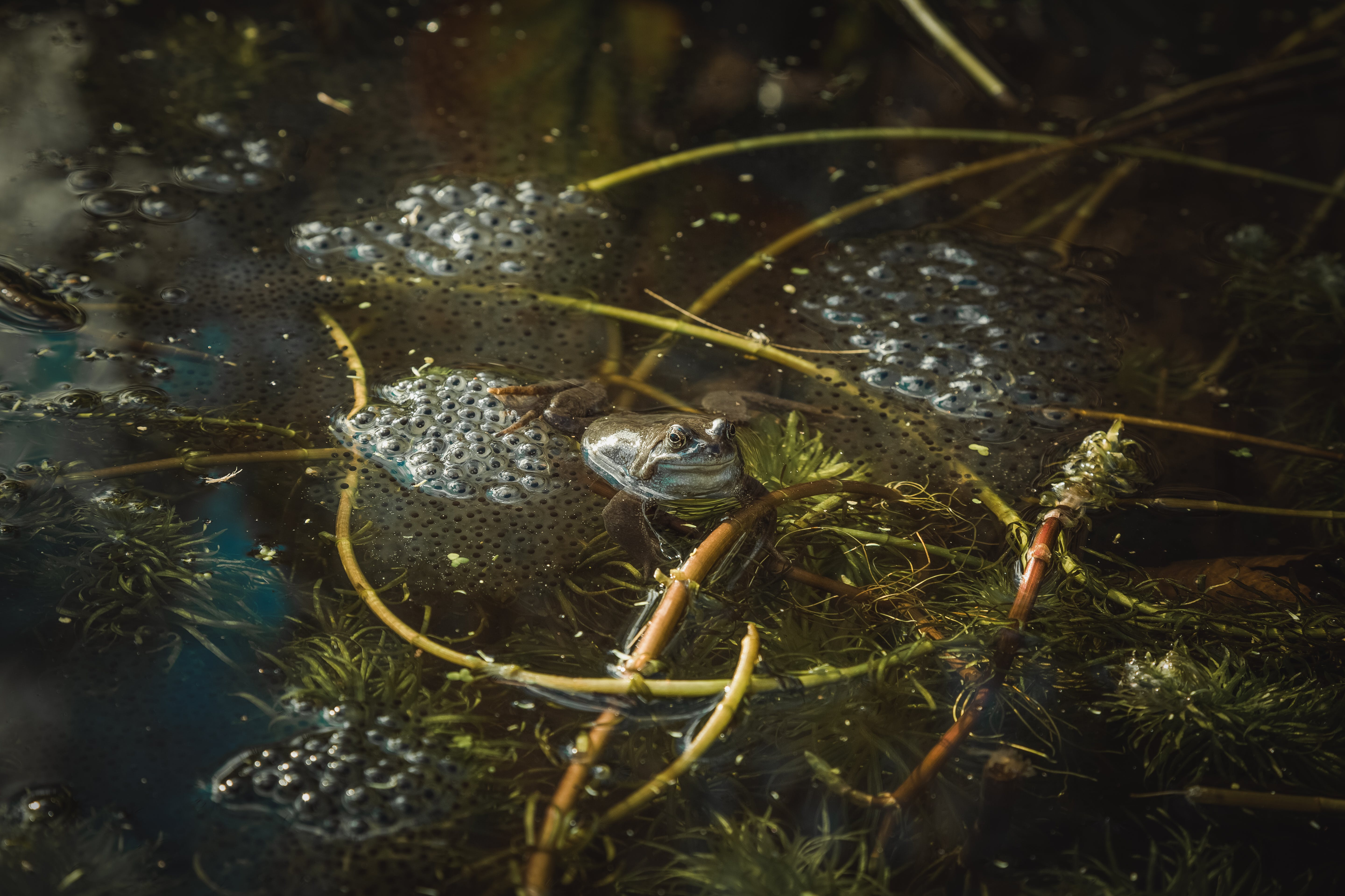 Free stock photo of eggs, frog, frogs, frogs spawn