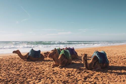 Ilmainen kuvapankkikuva tunnisteilla Afrikka, arabian kamelit, eläimet, hiekka