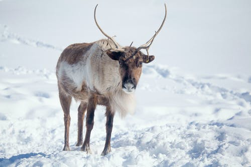 Photo of Reindeer on Snow