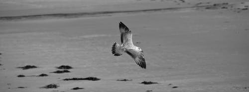 Free stock photo of beach, bird of prey, black and white, black and-white