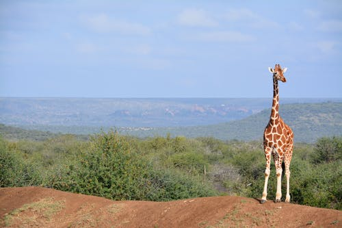 Free stock photo of africa, african, giraffe, panoramic view