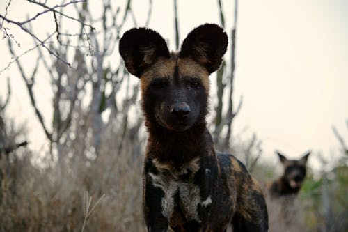 Free stock photo of africa, african wild dog, safari, wild