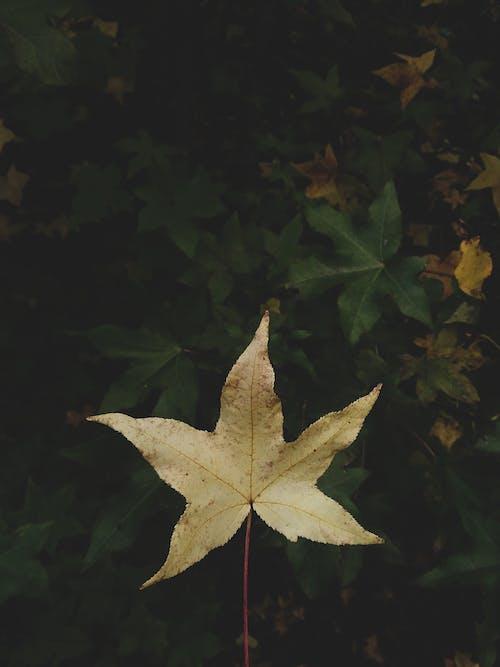 Foto stok gratis batang, daun, kilang, maple