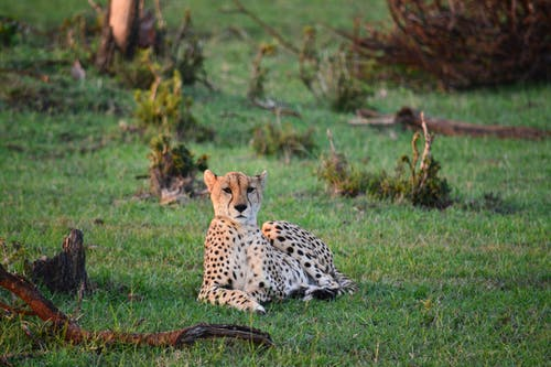 Free stock photo of africa, african, leopard, safari