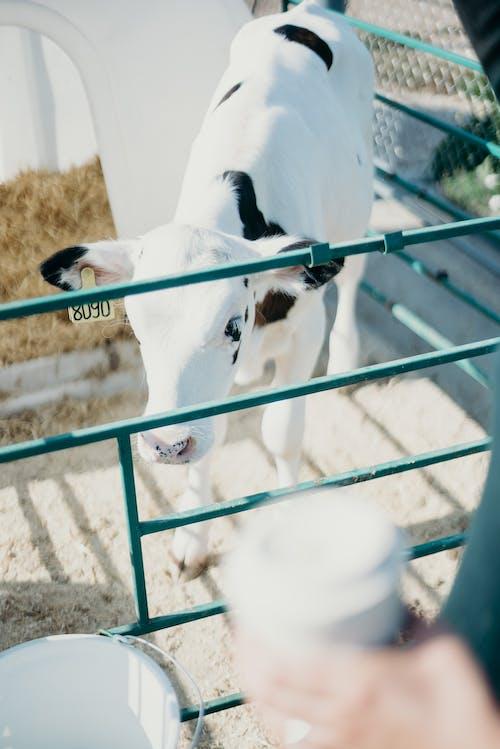 Fotos de stock gratuitas de animal, becerro, cría de animales, doméstico