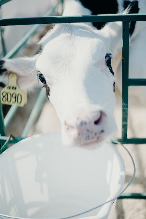 Безкоштовне стокове фото на тему «домашня тварина, корова, тварина, тваринництво»
