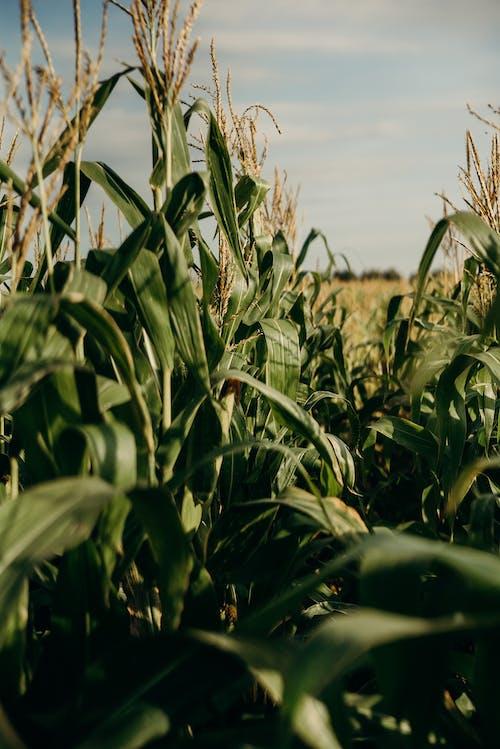 Безкоштовне стокове фото на тему «кукурудза, нива, пахотні угіддя, поле»