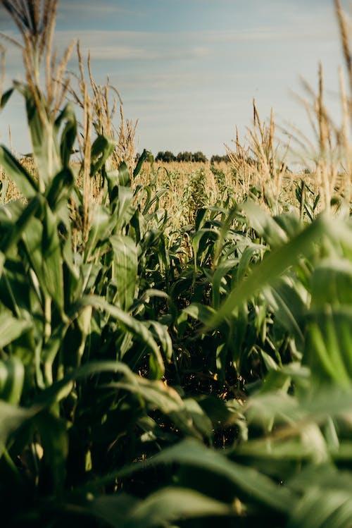 Foto stok gratis agrikultura, Daun-daun, Jagung, ladang jagung