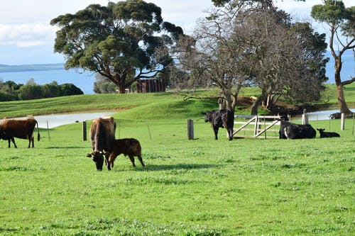 Darmowe zdjęcie z galerii z cielę, farma dziedzictwa churchill, krowa, krowy