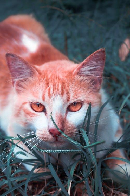 Free stock photo of bicolor cat, cat, cat eyes, grass