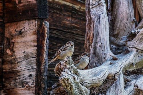 Foto profissional grátis de ave, estruturas, madeira, pardal