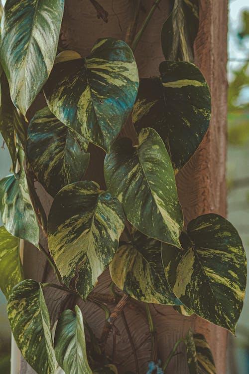 barvy, botanický, břečťan
