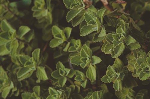 Бесплатное стоковое фото с ботанический, заводы, зеленые листья, зеленый