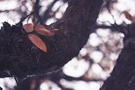 leaf, leaves, tree