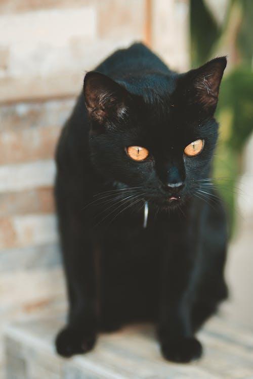 Black Short-fur Cat