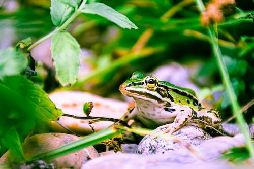 คลังภาพถ่ายฟรี ของ กบ, พอร์ตเทรตสัตว์, สีเขียว