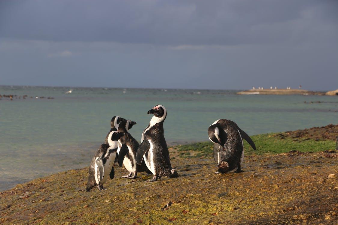 Free stock photo of penguin, penguins